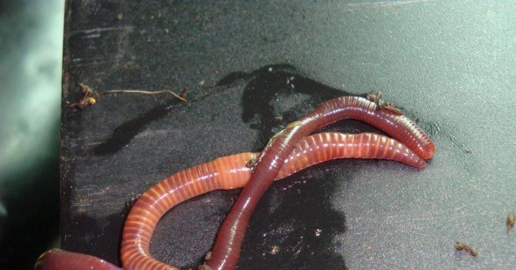 Калифорнийский червь визуально отличается от Владимирского более насыщенным красным цветом