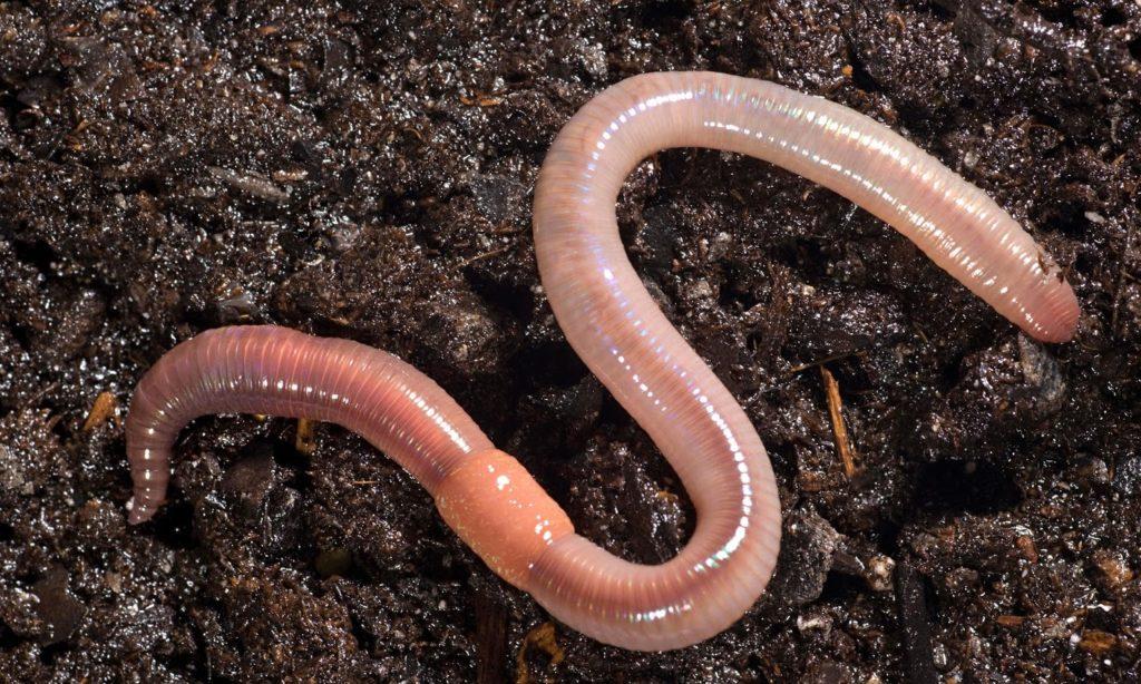 В сутки червь перерабатывает объем питательной смеси, превышающий собственныйвес