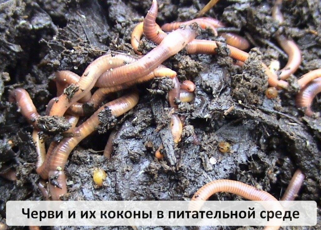 Содержание, выращивание, размножение червя Старатель