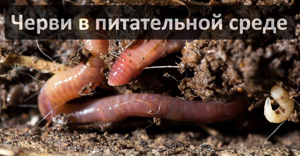 Где купить дождевого червя Старатель