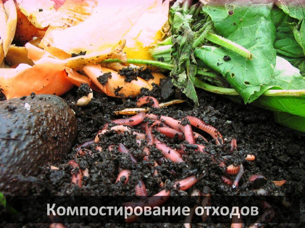 Дождевые черви для производства биогумуса