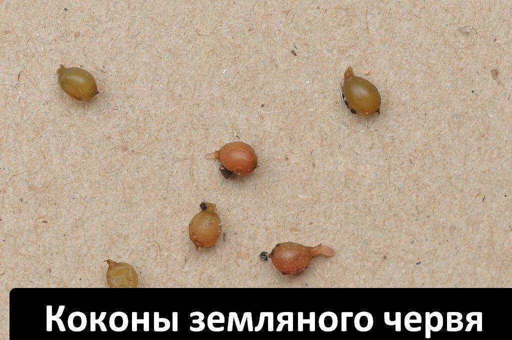 Купить коконы дождевого червя Старатель