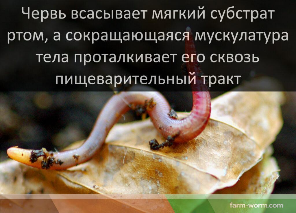 Питание дождевых червей