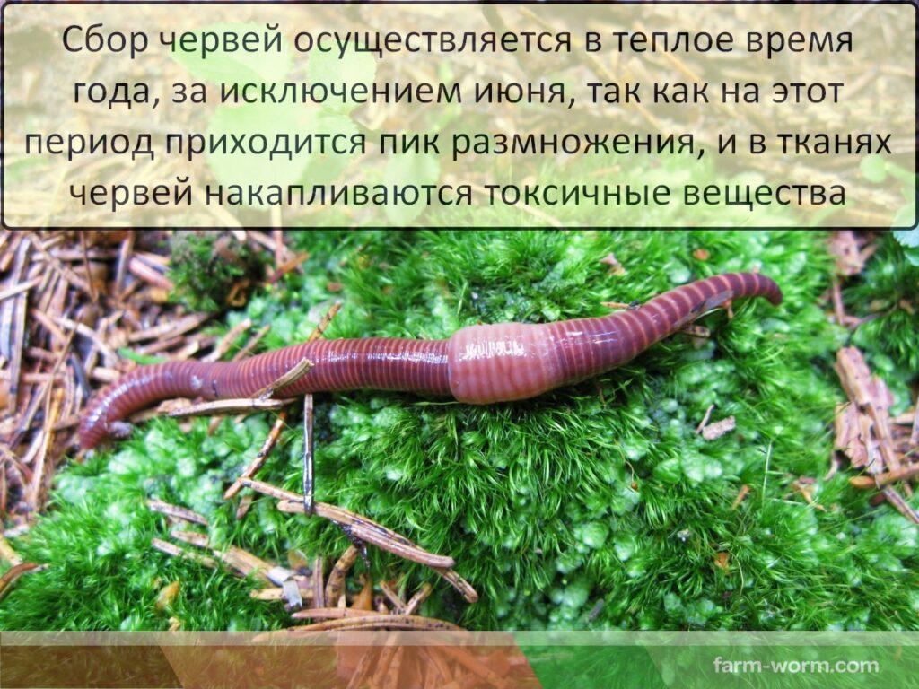 Дождевые черви в медицине