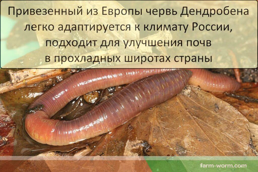 Дождевой червь Дендробена Венета