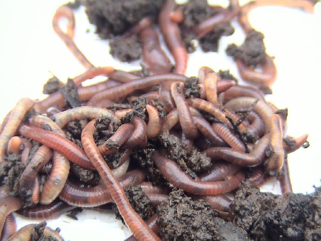 Чем отличается червь старатель от Калифорнийского червя