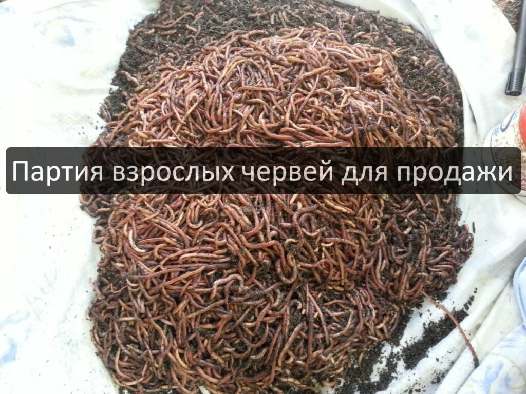 Сколько можно заработать на продаже дождевых червей Старатель