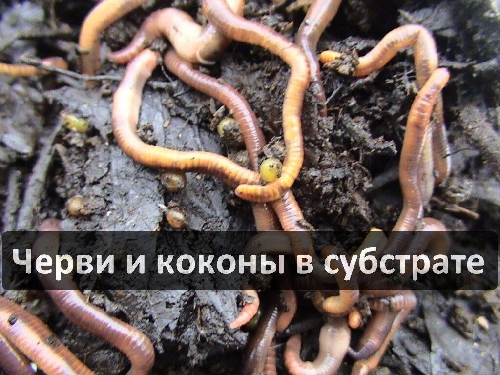 Коконы червя Cтаратель