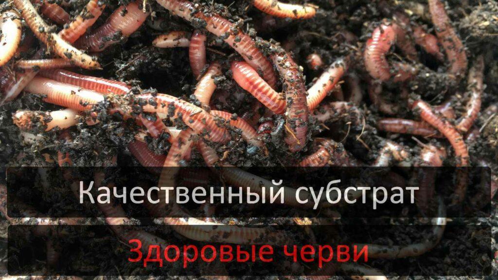 Маточное поголовье червей Старателей