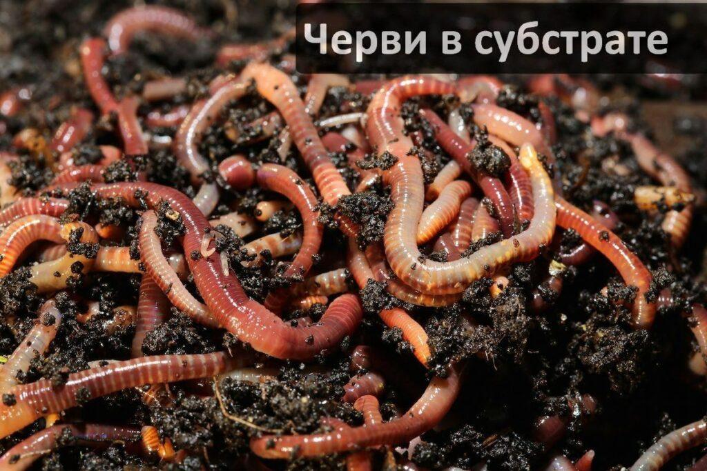 Как научиться производить-размножать червей Старатель