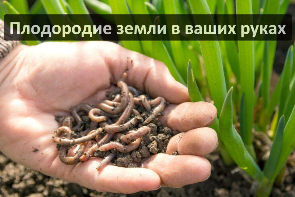 Купить дождевых червей Старатель для производства биогумуса