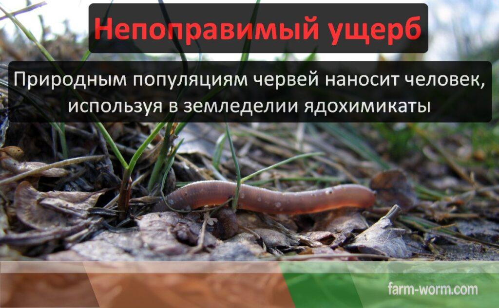 Польза и вред от дождевого червя