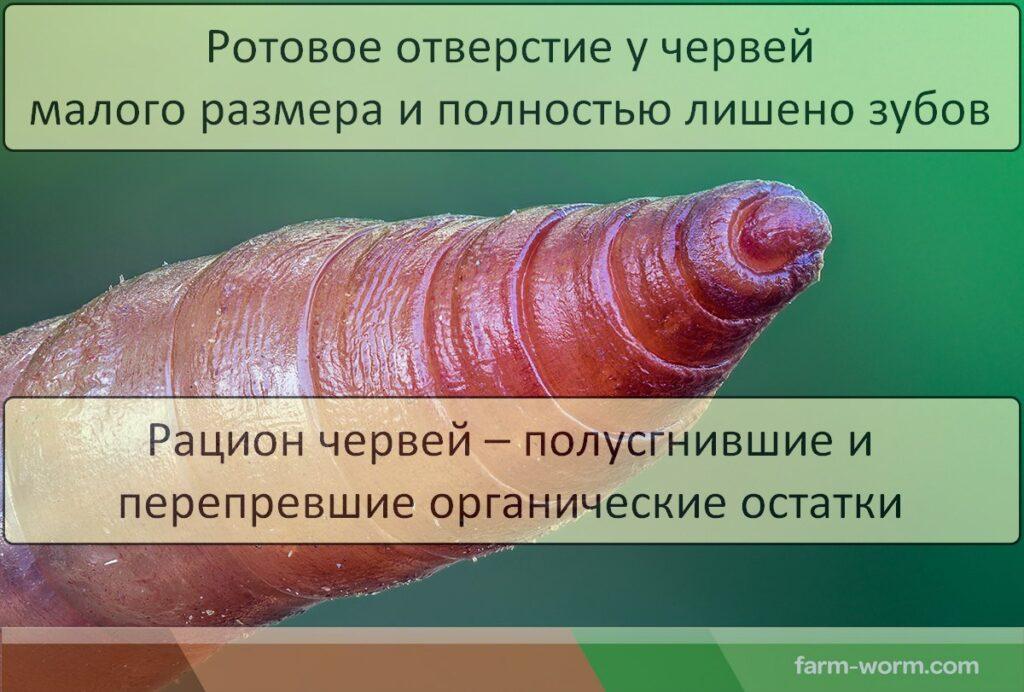 Что едят дождевые черви
