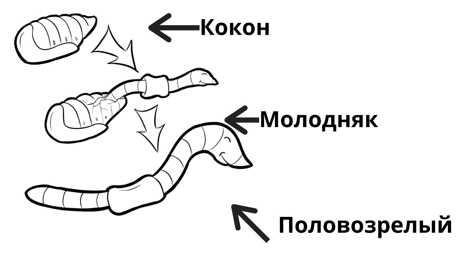 Цикл размножение дождевых червей